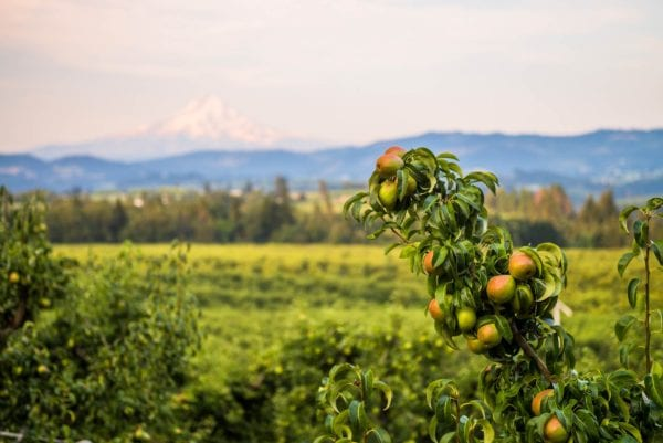 Oregon Pear Orchards